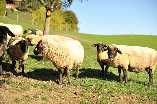 Sheep, Suffolk Sheep, Allgäu, Weiler-simmerberg