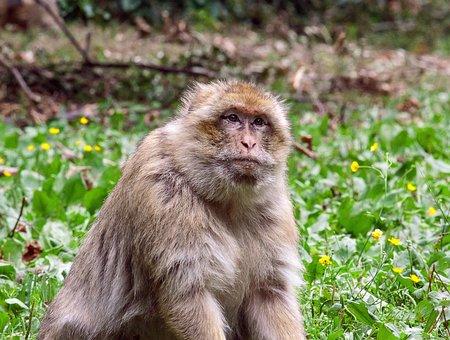 Monkey, Primate, Mammal, Animal, Animal World, Creature