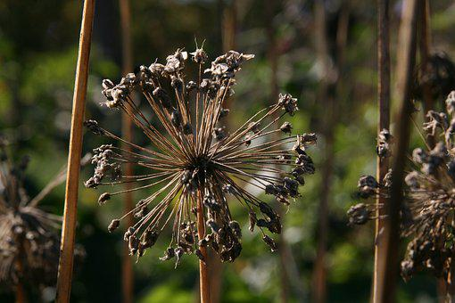 Autumn, Faded, Trockenblume, Dry, Infructescence, Seeds