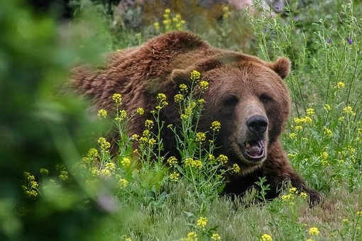 Bear, Grizzly, Wild, Dangerous, Animal, Nature