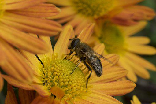 Macro, Bee, Flower, Chrysanthemum, Insect, Pollen