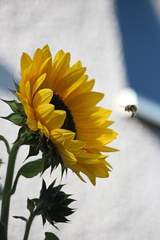 Sunflower, Bee, Summer, Sun, Yellow, Blossom, Bloom