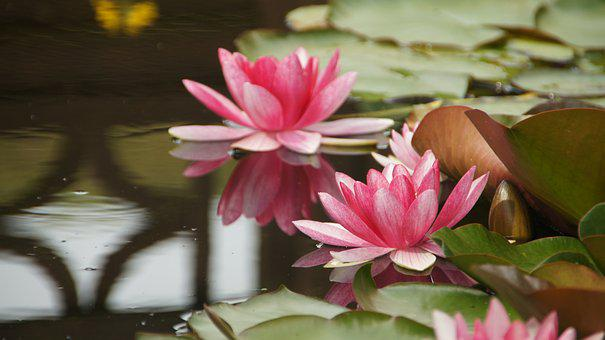 Water Lilies, Pond, Garden Pond, Teichplanze, Bloom