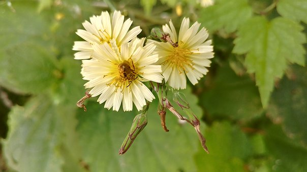Dandelion, Flowers, Plants, Nature, Close, Macro, Bokeh
