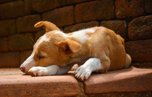 Dog, Puppy, Animal, Cute, Brown, Lonely, Listening