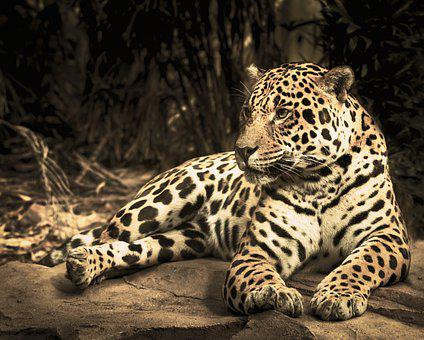 Jaguar, Zoo, Wild Cat, Animal, Cat, Big Cat