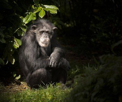 Monkey, Chimp, Zoo, Animal