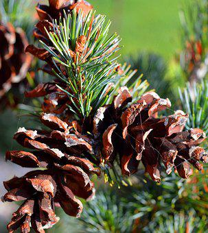 Pine, Pine Cones, Close Up, Conifer