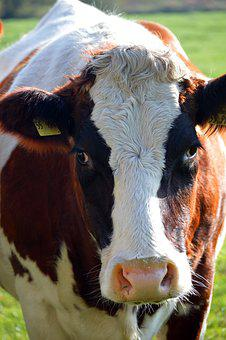 Cow, Close Up, Animal, Head, Ruminant, Agriculture