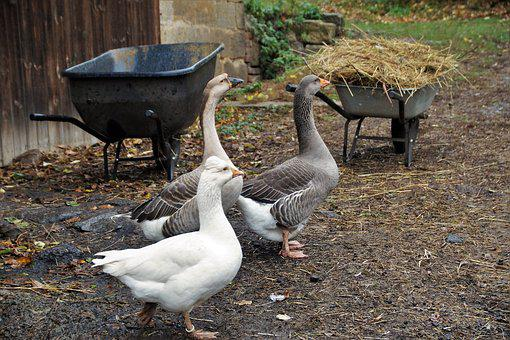 Goose, Home, Poultry, Farm, Economy, Farmhouse, Geese