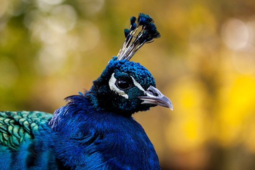 Peacock, Bird, Animal, Nature, Plumage, Pride, Feather