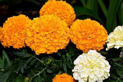 Flower, Flowers, Dead, Damasquina, Carnation Chinese