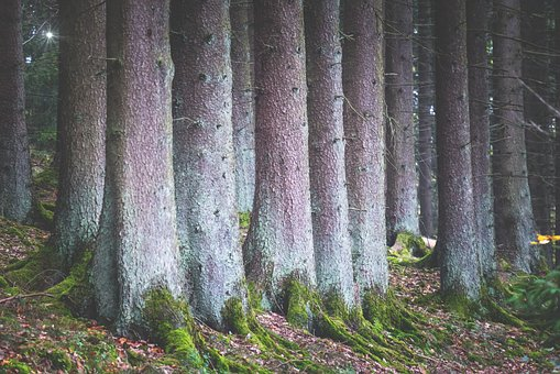 Forest, Trees, Spruce, Mystical, A Straight Line, Just