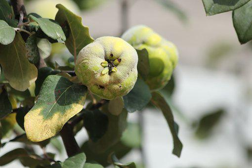 Quince, Fruit, Tree, South, Garden
