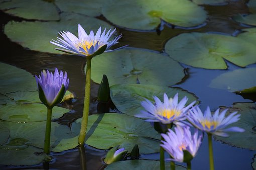 Summer, Water Lilies, Pond, Bloom, Garden
