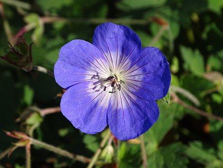 Geranium Hardy Rozanne, Flower, Garden, Nature, Plant