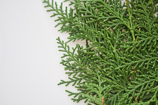 Pine Tree, Leaves, Branch, New Year, Green, Background