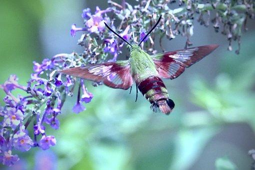 Hummingbird Moth, Moth, Flower, Nature, Wing, Flying