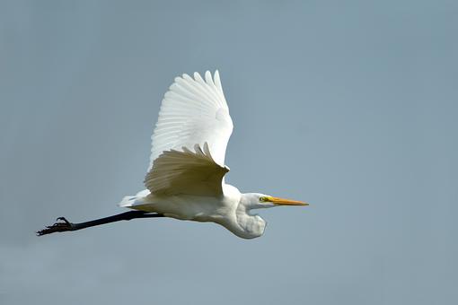 Large Egret Flying, White Bird, Nature, Indian Bird