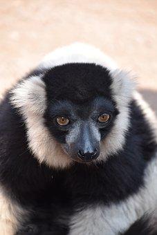 Lemur, Maki Catta, Stripes, Madagascar, Eyes, Nature