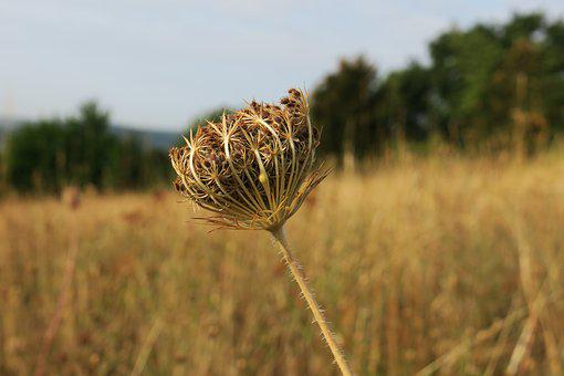 Thistle, Nature, Late Summer, Dry, Withers, Meadow