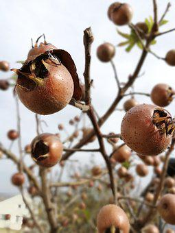 Fruit, Tree, Autumn, Plant, Medlar