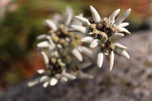 Plant, Gray, Mountain, Meadow, Edelweiss Alpine, Symbol