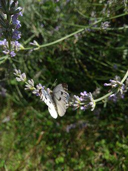 Butterfly, Animal, Nature, Garden, Plant, Lavender
