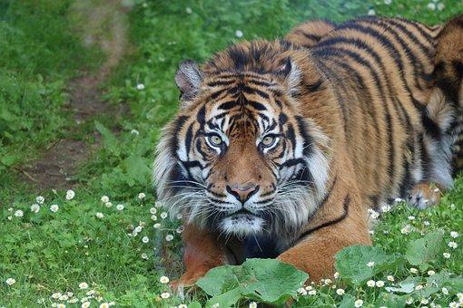 Tiger, Zoo, Wildlife, Feline, Predator, Nature, Tawny