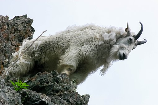 Goat, Mountains, Mountain Goat, Canada, North, Nature