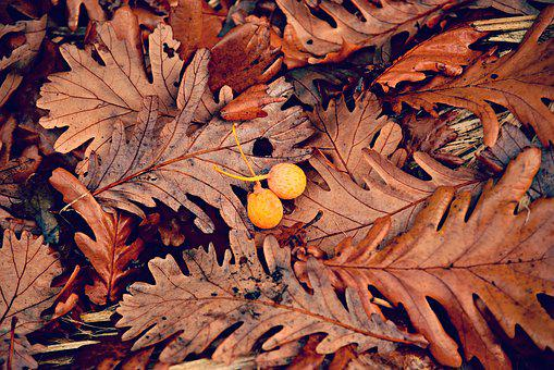 Oak Leaf, Autumn Color, Yellow Berry, Vein, Pattern