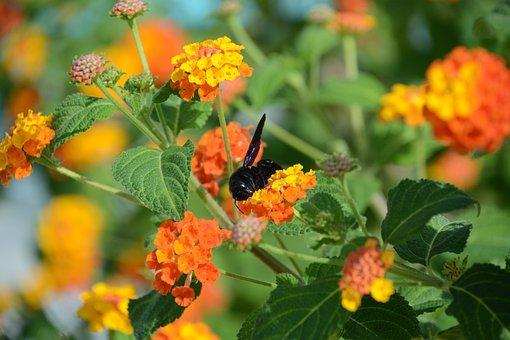 Insect, Bumblebee, Elba Island, Nature, Outdoors, Bombo
