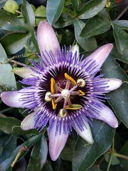 Passion, Flower, Purple, Passion Flower