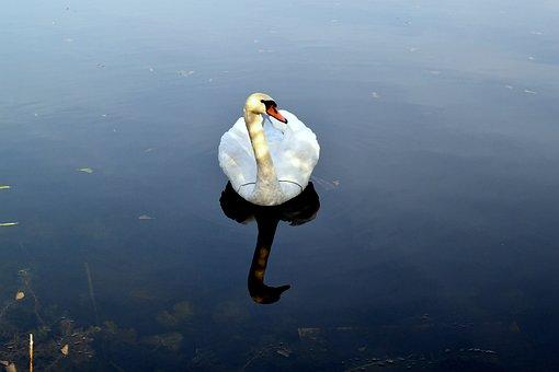 Water, Bird, Pen, Animals, Nature, Swan, Lake, Blue