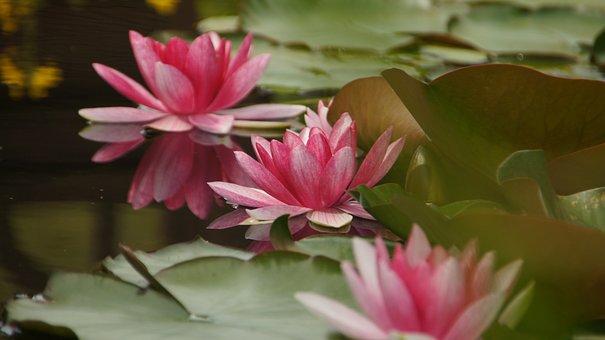 Water Lilies, Pond, Teichplanze, Nuphar Lutea, Blossom