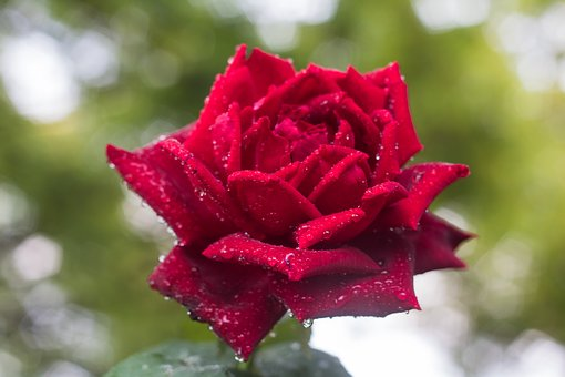 Rose, Red, Blossom, Bloom, Romantic, Garden, Flowers