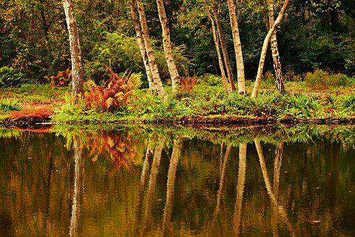 Birch Tree, Pond, Water, Banks, Reflection, Vegetation