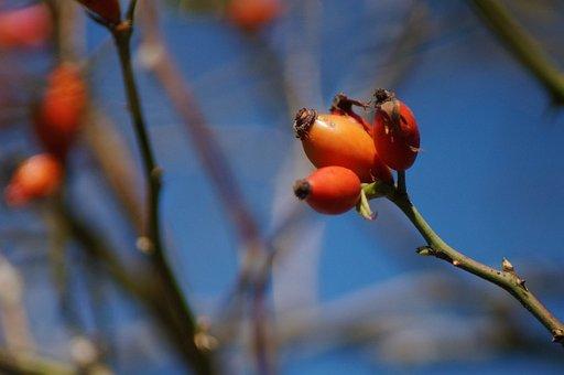 Rose Hip, Non-toxic, Nut Fruits, Rose Art, Red, Orange