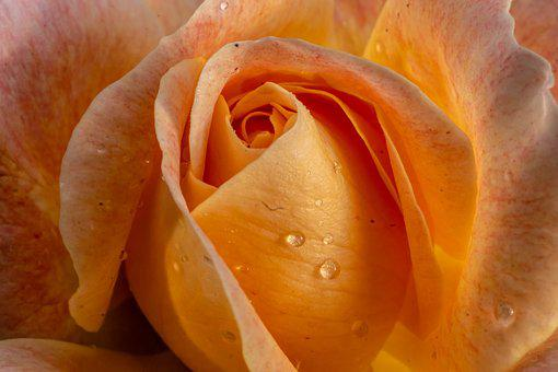 Macro, Rose, Nature, Flower, Blossom, Bloom, Plant