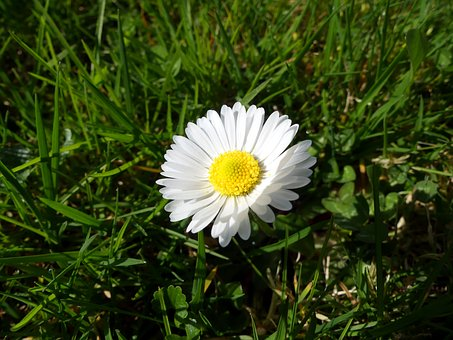 Daisy, Flower, Green, White, Spring