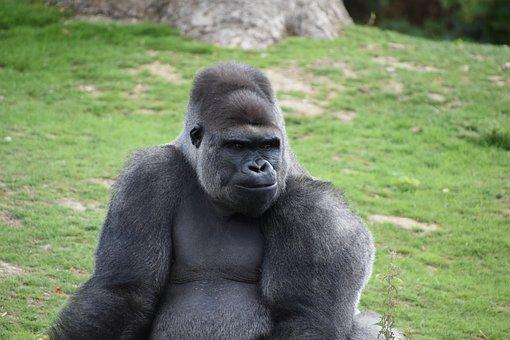 Gorilla, Monkey, Portrait, Omnivorous, Zoo, Nature