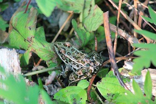 Pond, Frog, Green, Amphibian