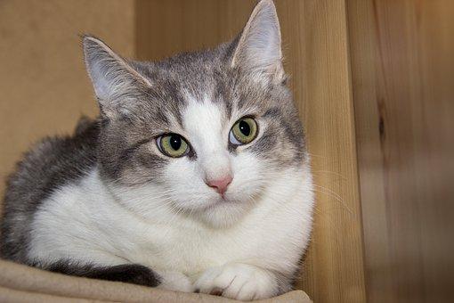 Cat, Domestic Cat, Pet, Animal, Mackerel, Cat's Eyes