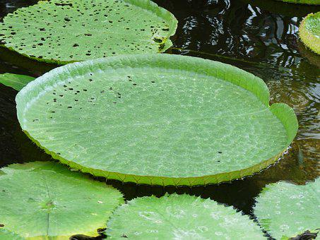 Water Lilies, Aquatic Plant, Plant, Water Lily, Nature