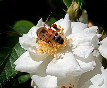 Insect, Bee, Pollen, Flower, Rose, Nature