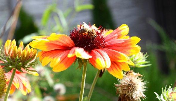 Kokárda Flower, Flower, Bee, Nature, Pollen, Yellow