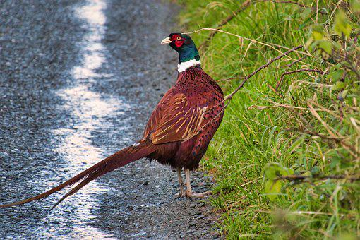 Pheasant, Road, Bird, Grass, Poultry, Animal World