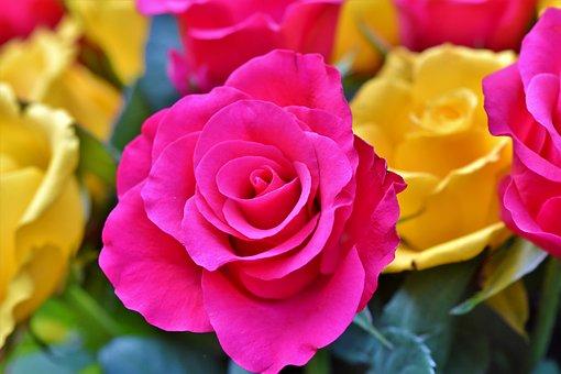 Rose, Rose Bloom, Floribunda, Blossom, Bloom, Flower