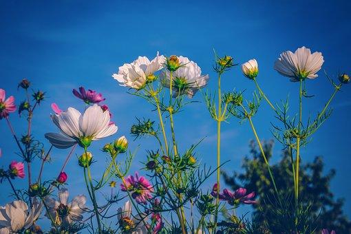 Cosmea, Flowers, Bloom, Flower Meadow, Plant, Tender