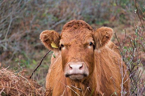 Cow, Cow Head, Pasture, Cattle, Ruminant, Portrait